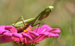 animals insects mantis widescreen image HD Wallpaper of Insects & Bugs 1043