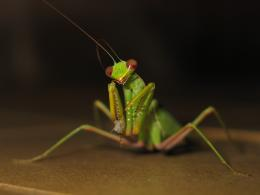 insects mantis praying insect HD Wallpaper of Insects & Bugs 272