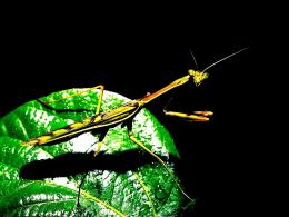 Preying mantis insect bug nature:High Contrast 590