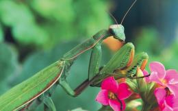 wallpapers of mantis pink flowers photos in high definition and 720p 1264