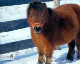 Tagged with: Miniature Horse Miniature Horse Wallpapers 722