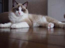 Ragdoll Cat Desktop Wallpapers 967