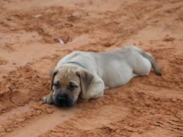 dog widescreen wallpaper bullmastiff new desktop wallpapers 895