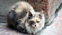 Ragdoll Cat Desktop Wallpapers 1527