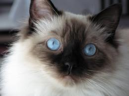 Tagged with: Ragdoll Cat Ragdoll Cat Desktop Wallpapers 925