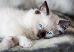 american ragdoll cat desktop wallpapers for background full free jpg 652