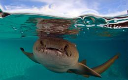 nurse shark wide high resolution wallpaper download nurse shark images 1887