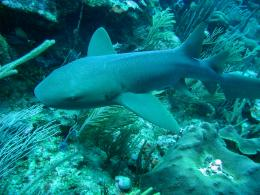 nurse shark hd wallpaper for desktop background download nurse shark 844