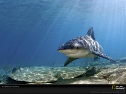 the most likely sharks to attack humans bull sharks favor shallow 829