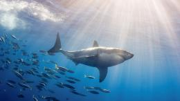 Tagged with: background desktop HD Shark Wallpapers white 953