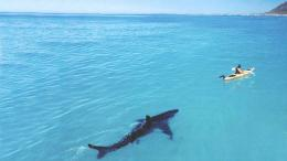 ocean, shark, wallpaper, background, kayaker, hunting, large 1109