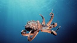 Octopus Desktop Wallpapers 113