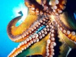 home desktop wallpapers other mix backgrounds octopus hawaii octopus 1401