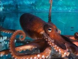 Octopus Desktop Wallpapers jpg 1234