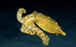 Octopus Blue Ringed Octopus Hd Wallpapers celebrity wallpapers HD 1487