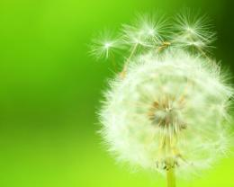 Dandelion desktop background picture 1280x1024 hd desktop wallpaper 1867