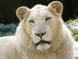 1600x1200 White lion portrait desktop PC and Mac wallpaper 1235