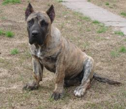 dog presa canario dog background desktop wallpapers of dog in hd presa 939