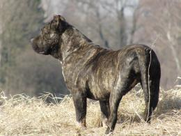 desktop presa canario dog new wallpapers presa canario dog images 1214