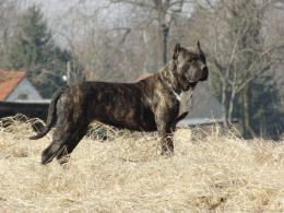 presa canario dog top wallpapers presa canario dog widescreen 372