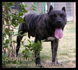 Related to Presa Canario Puppies For Sale by Reputable Dog Breeders 430