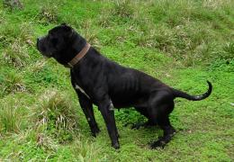 Presa Canario Dog HD Wallpapers 1843
