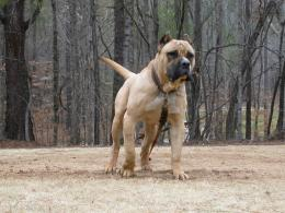 Presa Canario Dog HD Wallpapers 1310