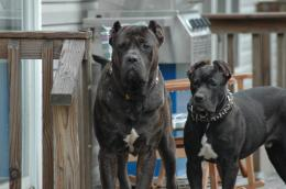 Presa Canario Dog HD Wallpapers 334