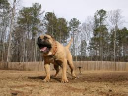 Presa Canario Dog HD Wallpapers 764