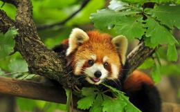 Red Panda HD Wallpapers 279