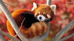 Red panda wallpaper 1366x768 1230