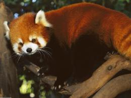 Funny red panda wallpaper 1581