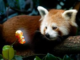Red Panda Firefox Full HD Free Wallpaper 1131