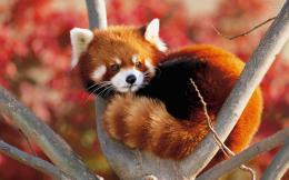 animal wallpapers red panda hd wallpaper wallpaper 32509 jpg 1005
