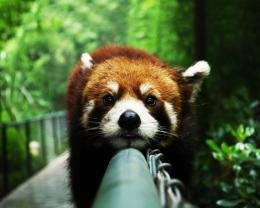 Description: The Wallpaper above is Red panda chill Wallpaper in 457