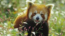 Download Red panda 1920x1080 Wallpaper 518