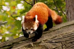 Red Panda Wallpapers in HD Wallpaper 826