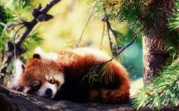 Red panda hd Wallpapers Pictures Photos Images 293