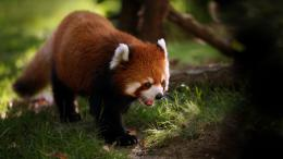 Red Panda Wallpapers 458