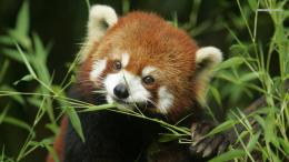 Red panda wallpaper 1366x768 843