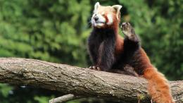 Download Red Panda Desktop wallpapers 1720