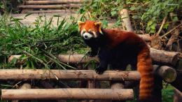 Red panda wallpaper 1920x1080 214