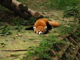 Sleeping Red Panda Wallpaper » sleeping red panda wallpaper 1465