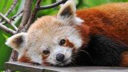 Red panda wallpaper 1920x1080 1163