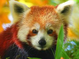 Red Panda Wallpapers from below galleryChoose only HD photos of Red 1492