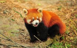 Red Panda wallpaper 1512