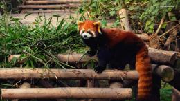 Red panda wallpaper 1366x768 1874