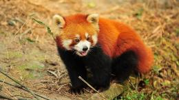Red Panda wallpaper 1969