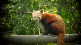 View and download our collection of Red panda wallpapers 303