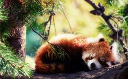 red panda animal images red panda desktop red panda hd red panda top 965